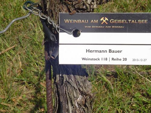 a Weinstock Hermann Bauer  007